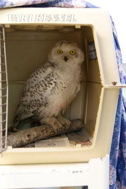 D.C.'s snowy owl recovering well — even playing