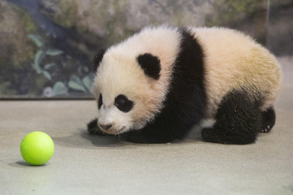 Bao Bao update: Pandas can get the flu too