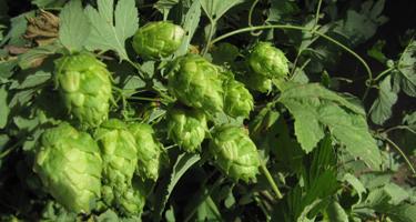Garden Plot: Here's how you grow those hops