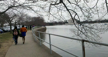 How will cold snap affect D.C.'s cherry blossom trees?