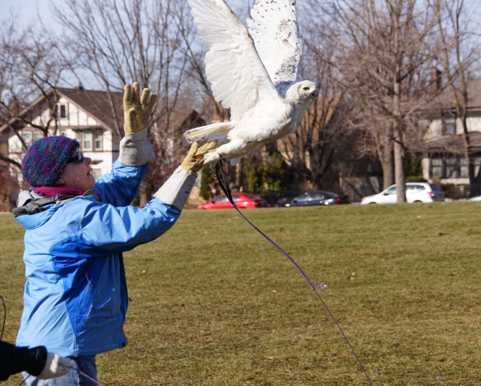 D.C.'s snowy owl tests her replacement wings