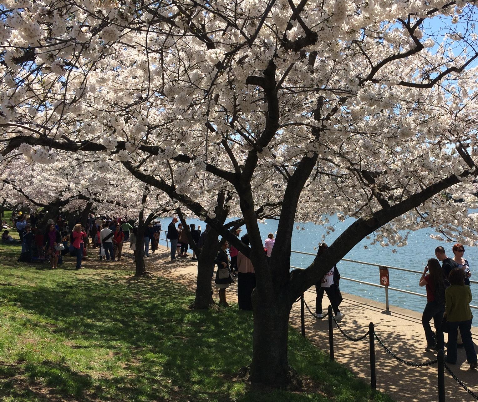 Locals navigate cherry blossom crowds during peak bloom