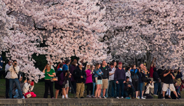 Cherry blossoms draw thousands to D.C.