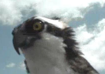 Md. osprey cam returns for 2nd year
