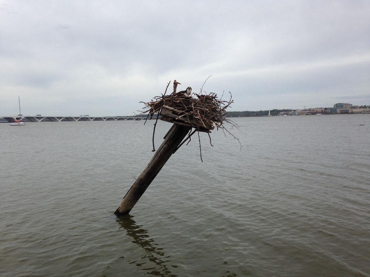Ospreys return to the Potomac River