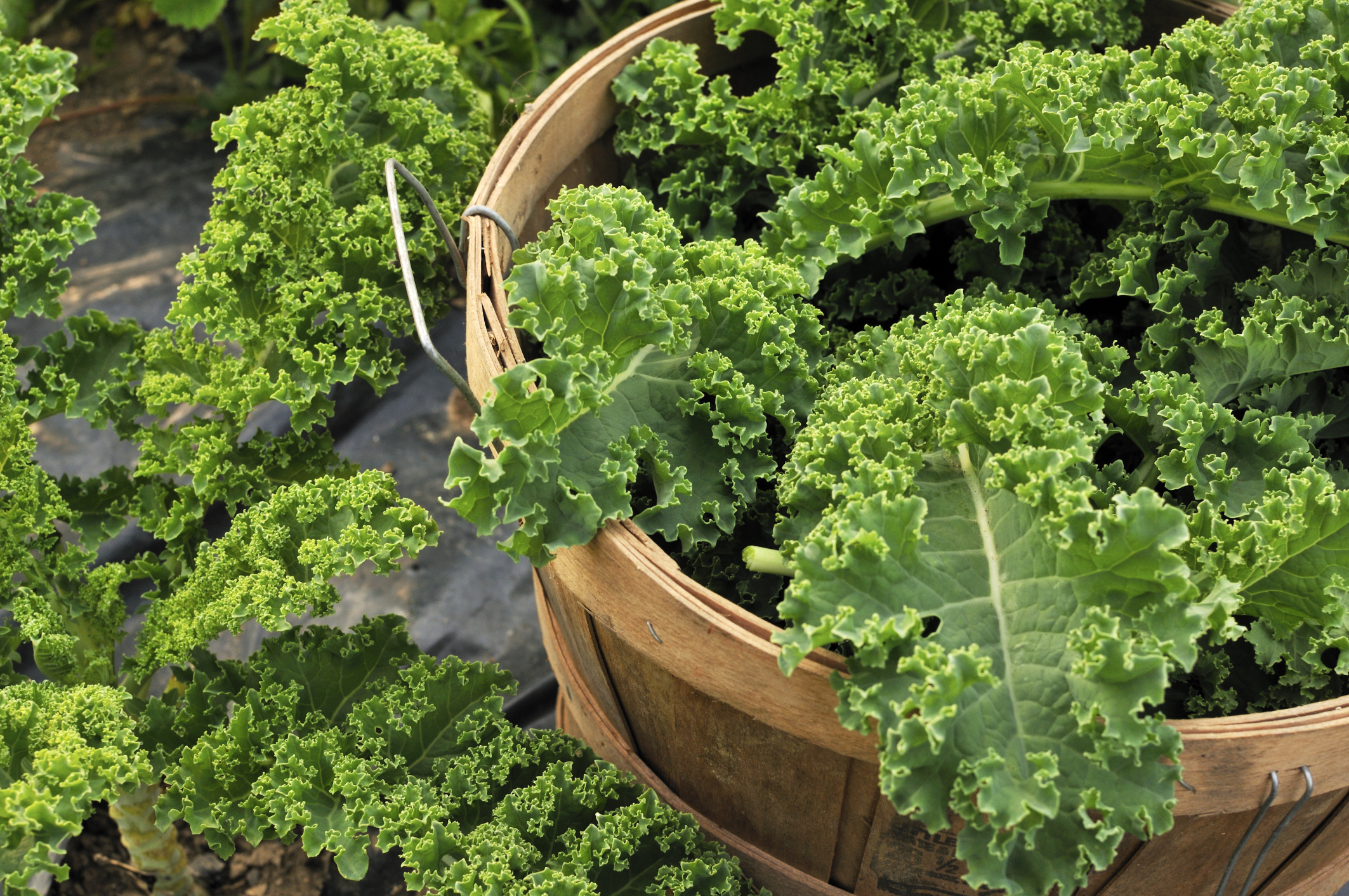 Kale yeah! Farmers work to keep up with demand