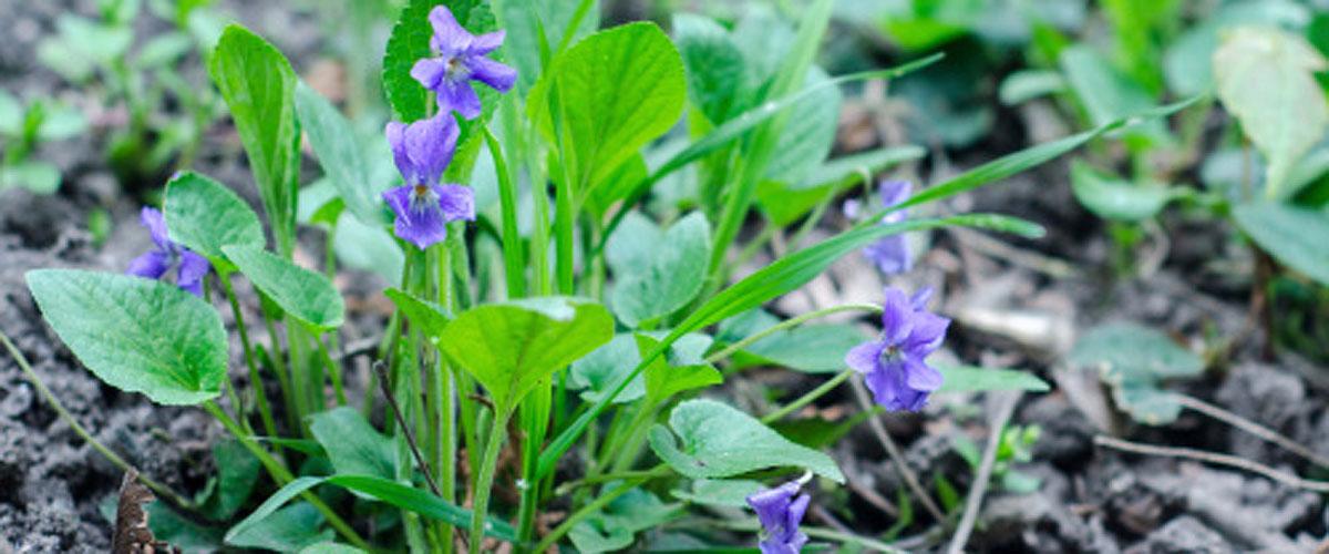 Pesky lawn violets? If you can't beat 'em, eat 'em
