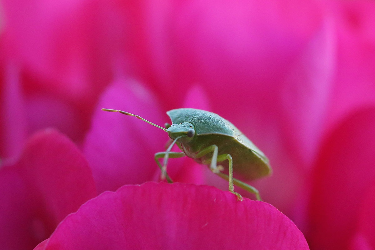 Homemade stink bug traps better than store-bought (Video)