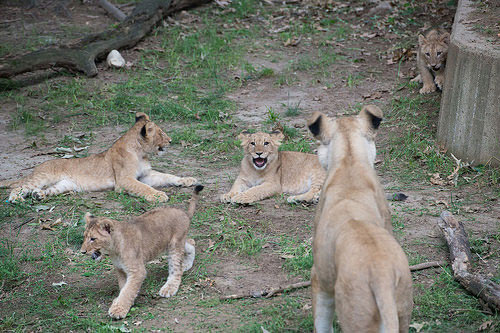 National Zoo's lion cubs making public debut