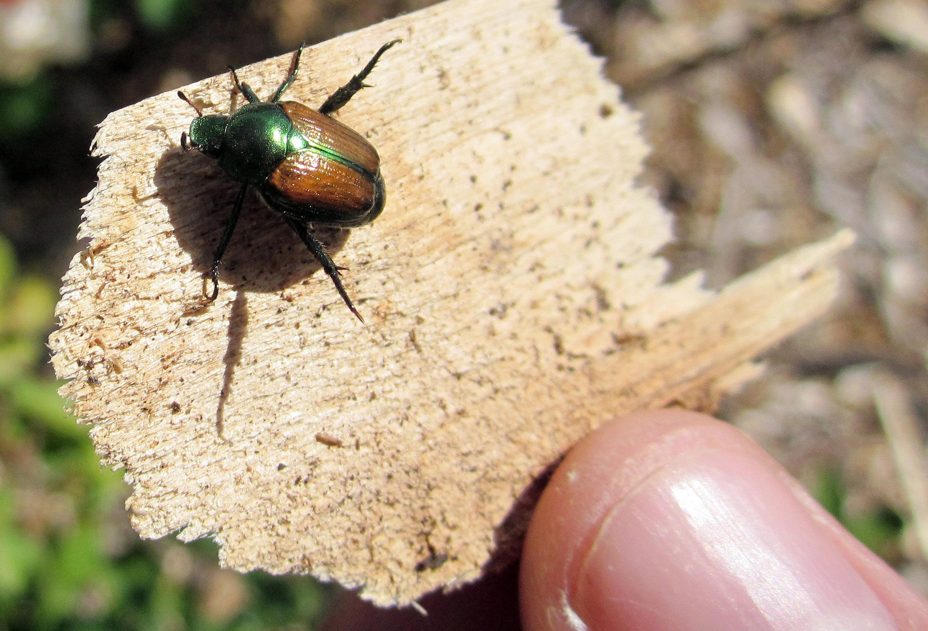 Attack of the Japanese beetles: Eradicating them the safe and easy way
