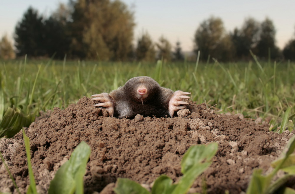 how to kill moles in your garden