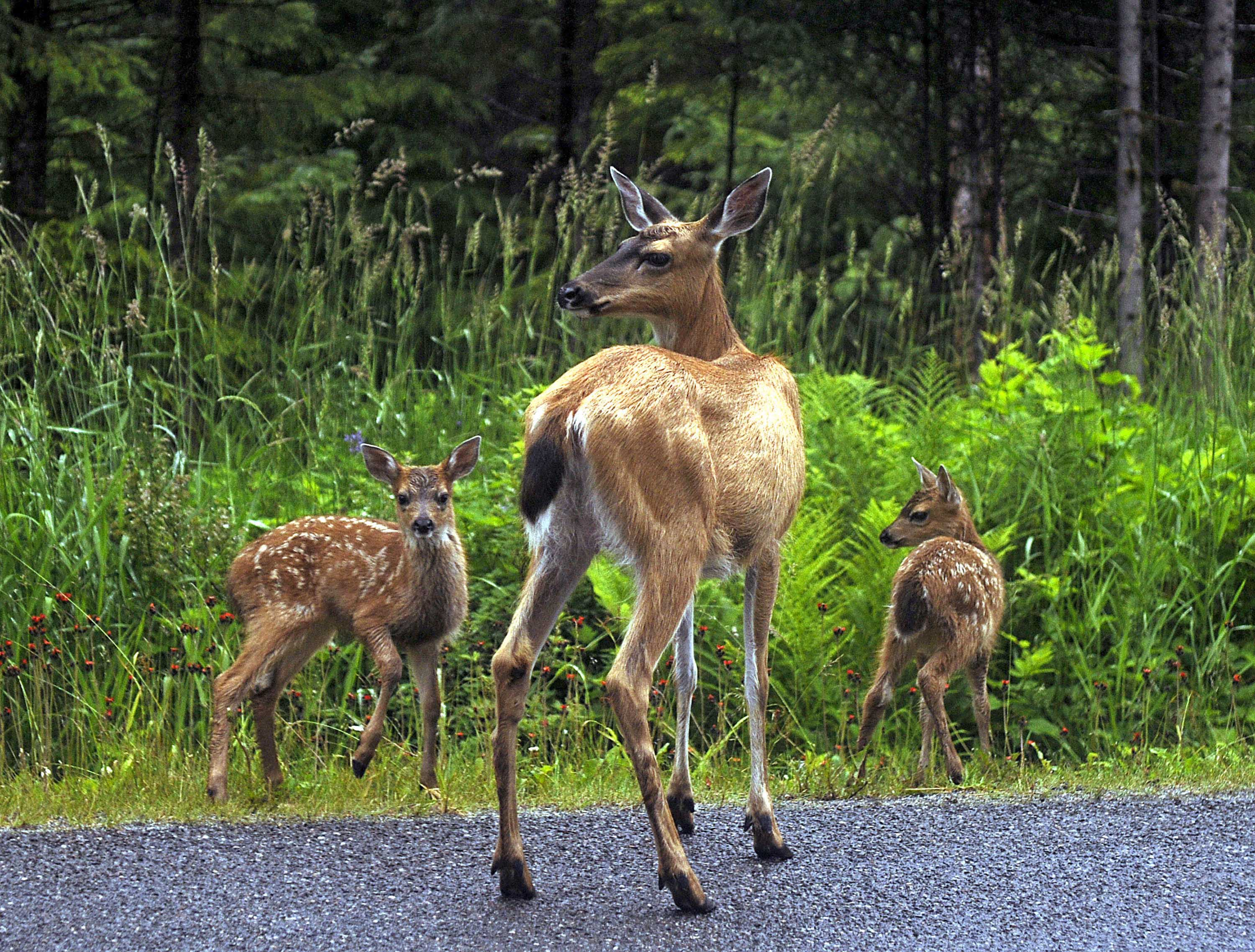 Find the right plant for privacy without attracting deer