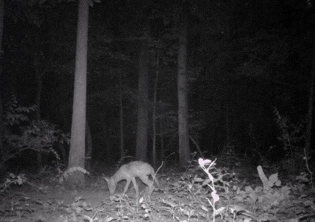 Naturalist: Coyotes breeding in Fairfax Co. park