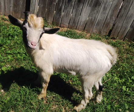 Washington Humane Society rescues pygmy goat
