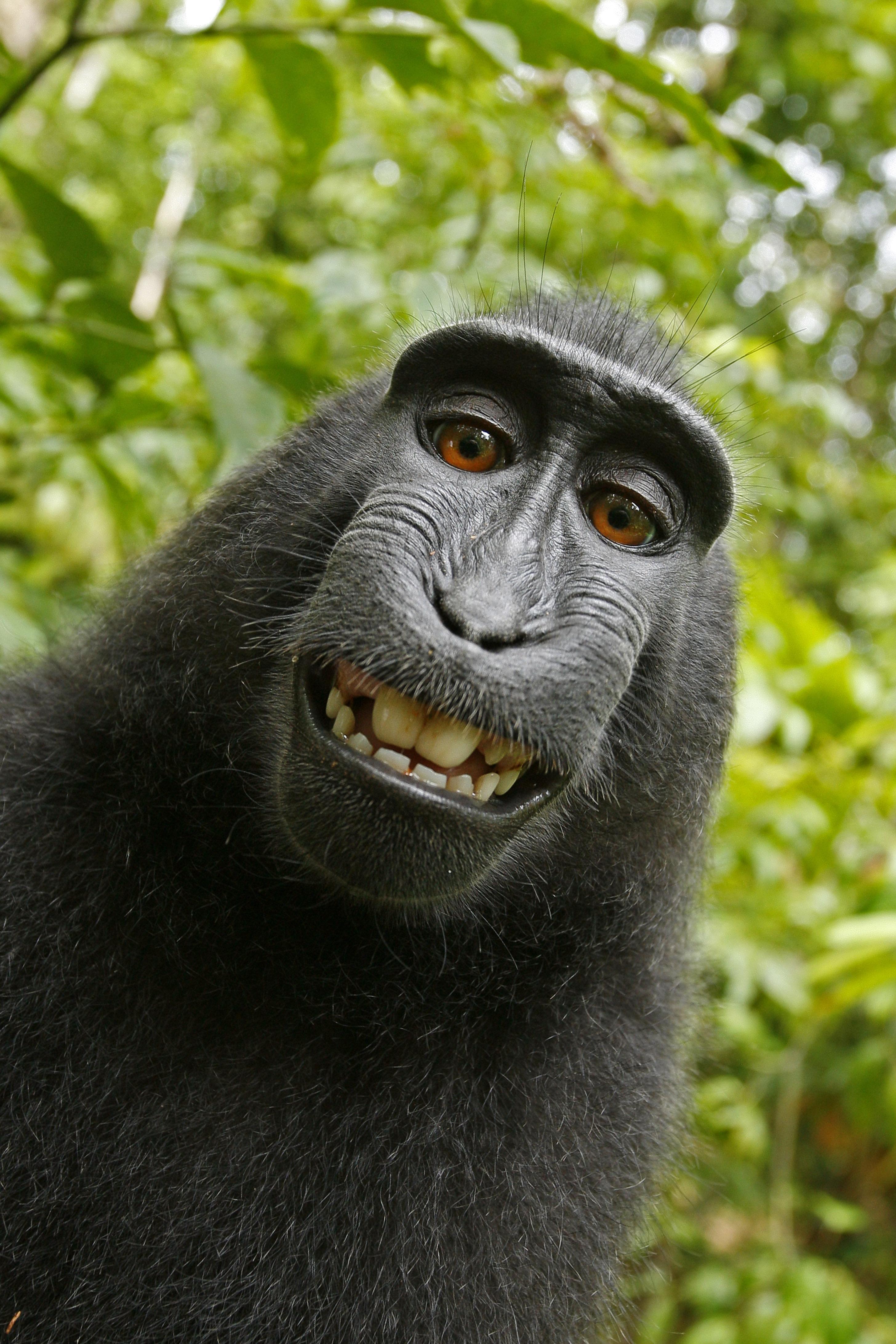 Monkey 'selfie' copyright issue settled