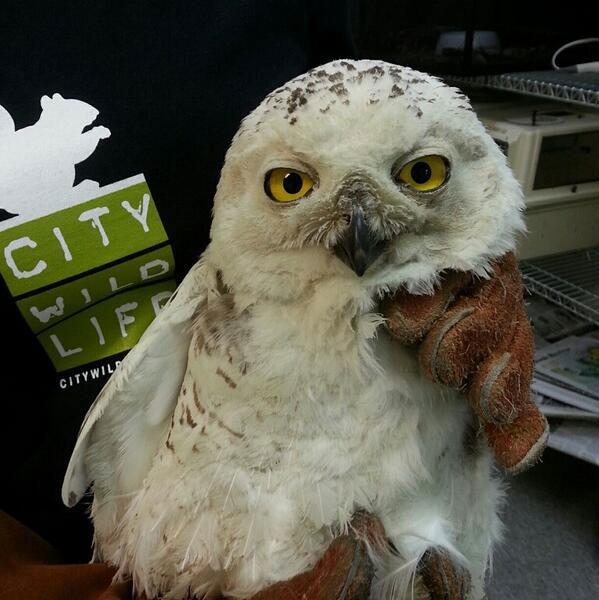 D.C.'s snowy owl meets sad end