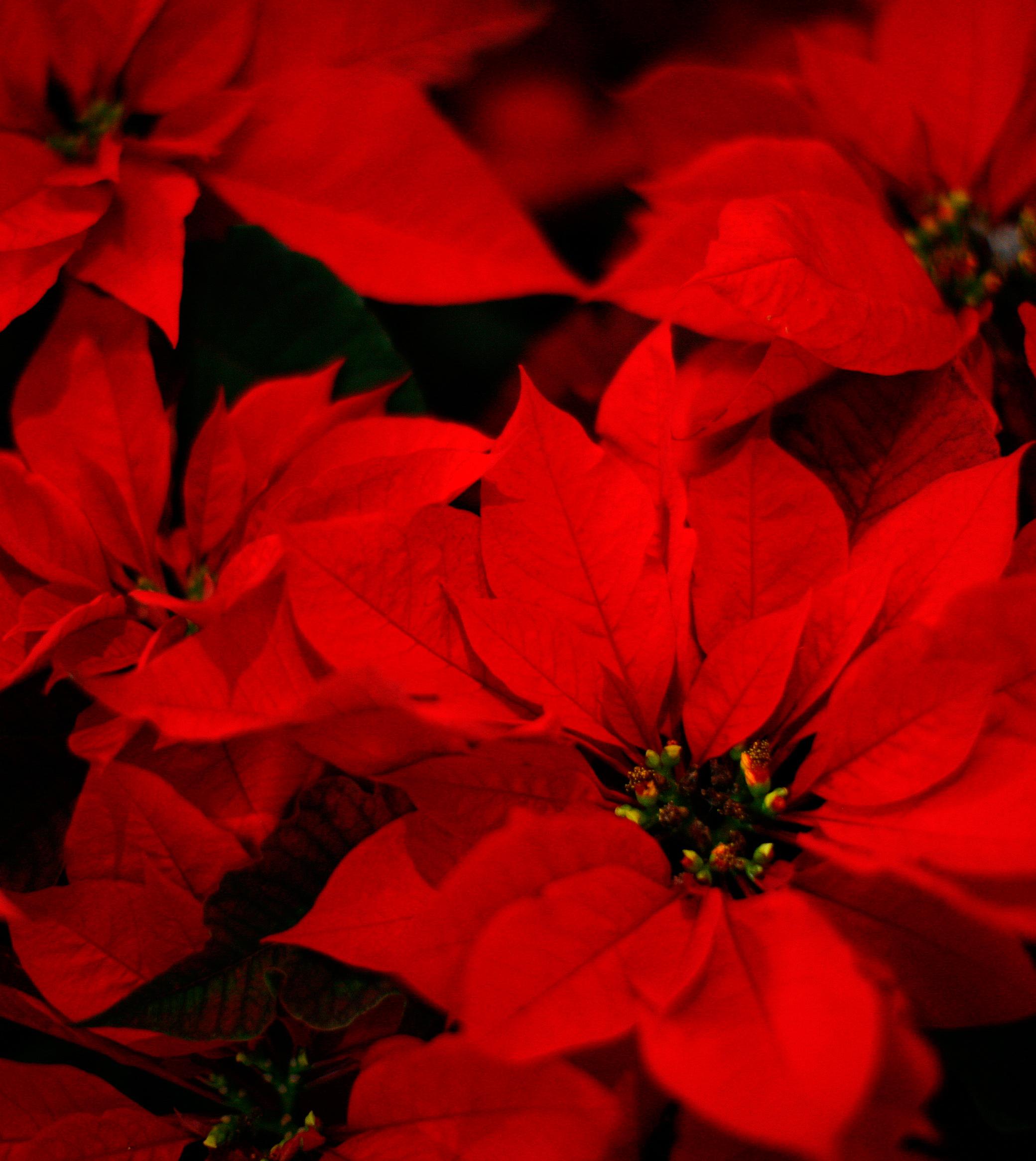 Garden Plot: Rosemary trees, poinsettias and fresh Christmas trees
