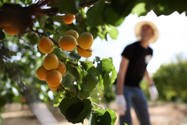 Apricots Hang From A Tree As Volunteers Harvest The Fruit At Guadalupe Historic Orchard On June 25 2017 In San Jose California Some Trees