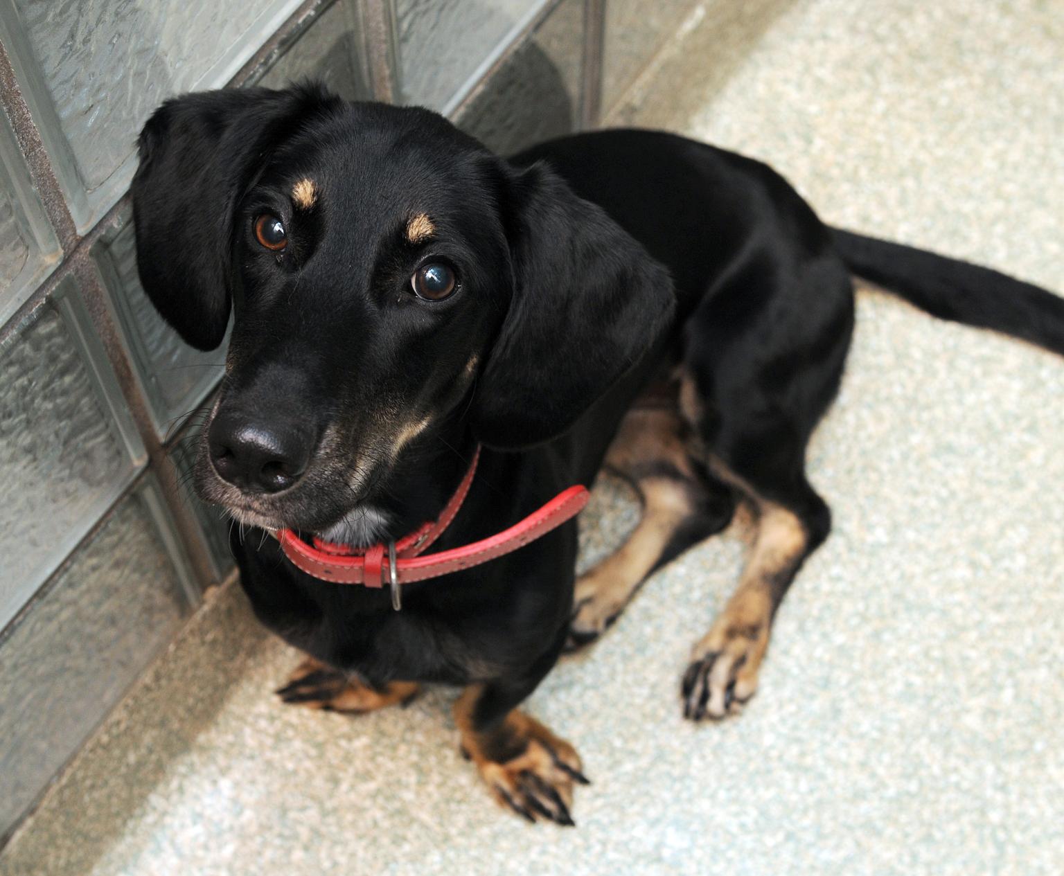 Pet of the Week: Marina, a basset hound mix