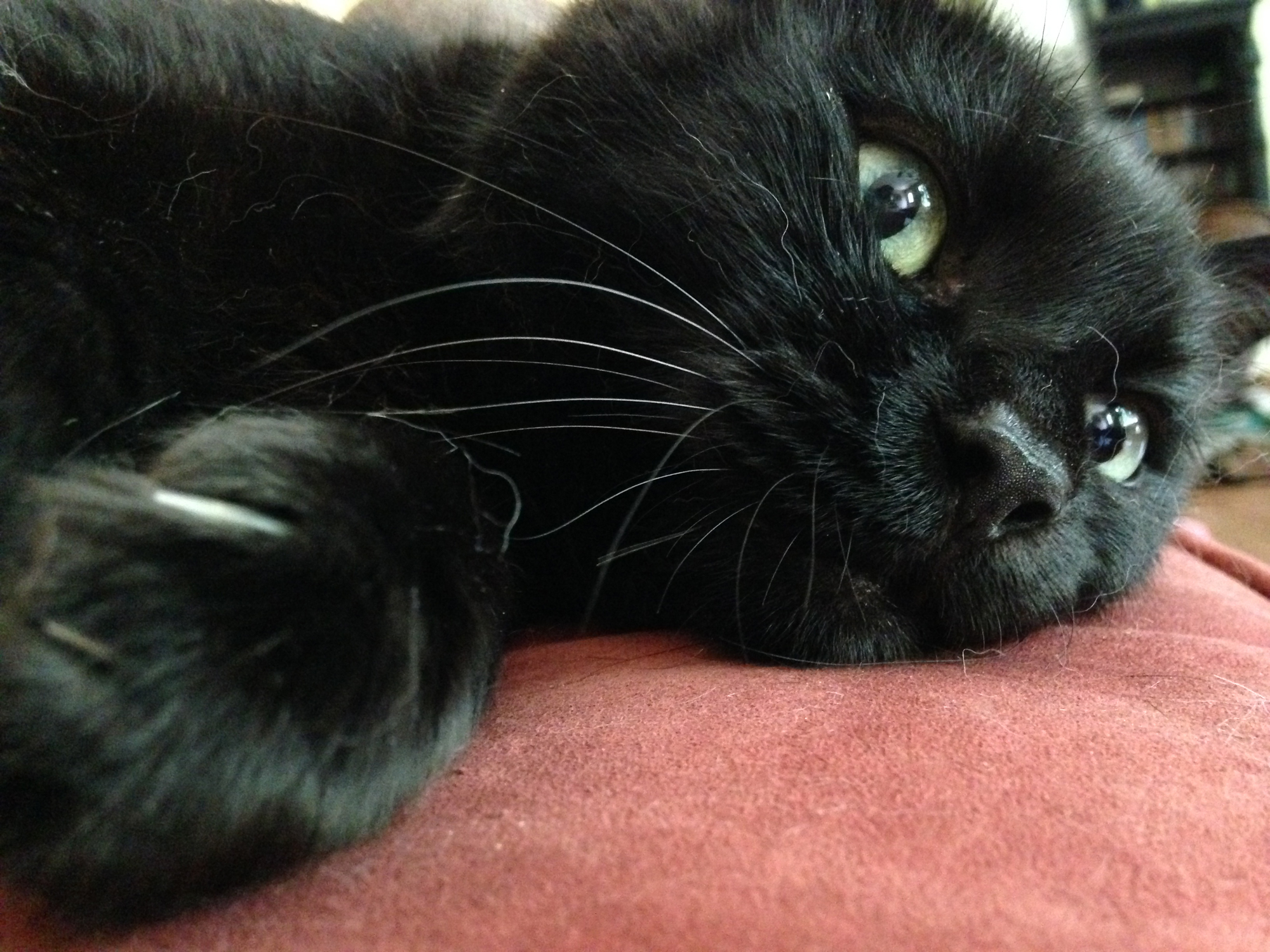 Animal shelters buck black cat superstitions, encourage adoptions