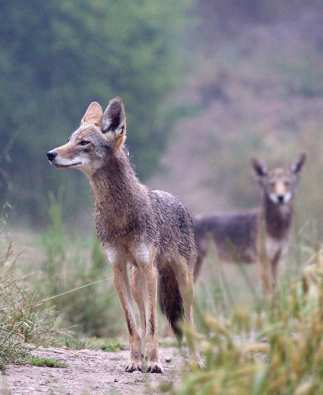 Coyotes increasingly common nationwide