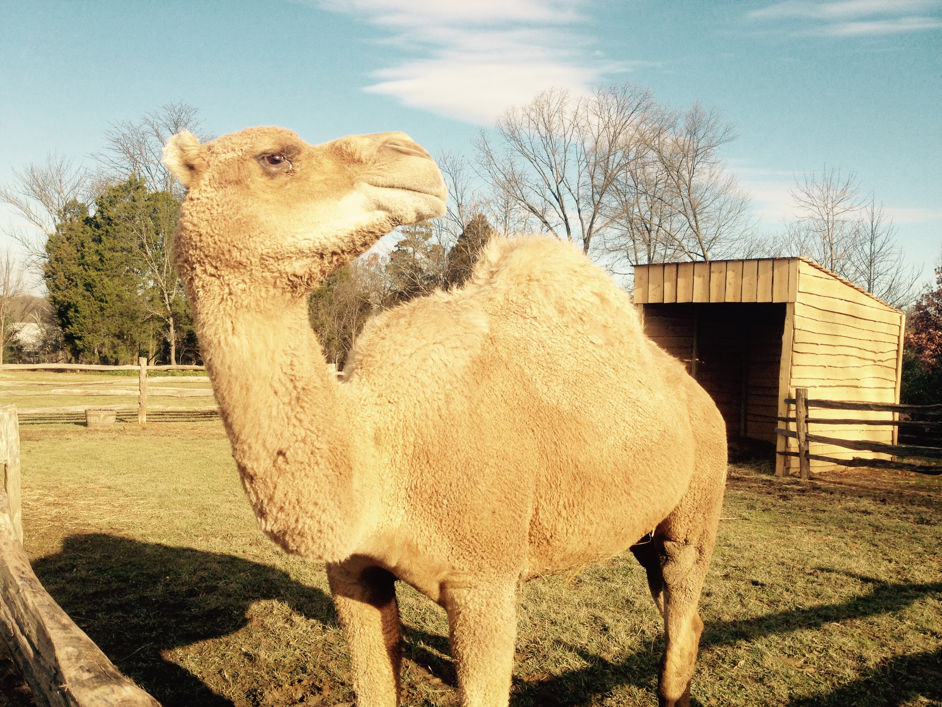 Mount Vernon's Christmas camel a reminder of holiday in history (Photos)