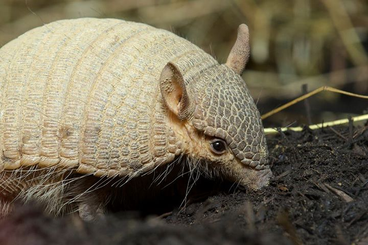 Screaming hairy armadillo finds home at National Zoo