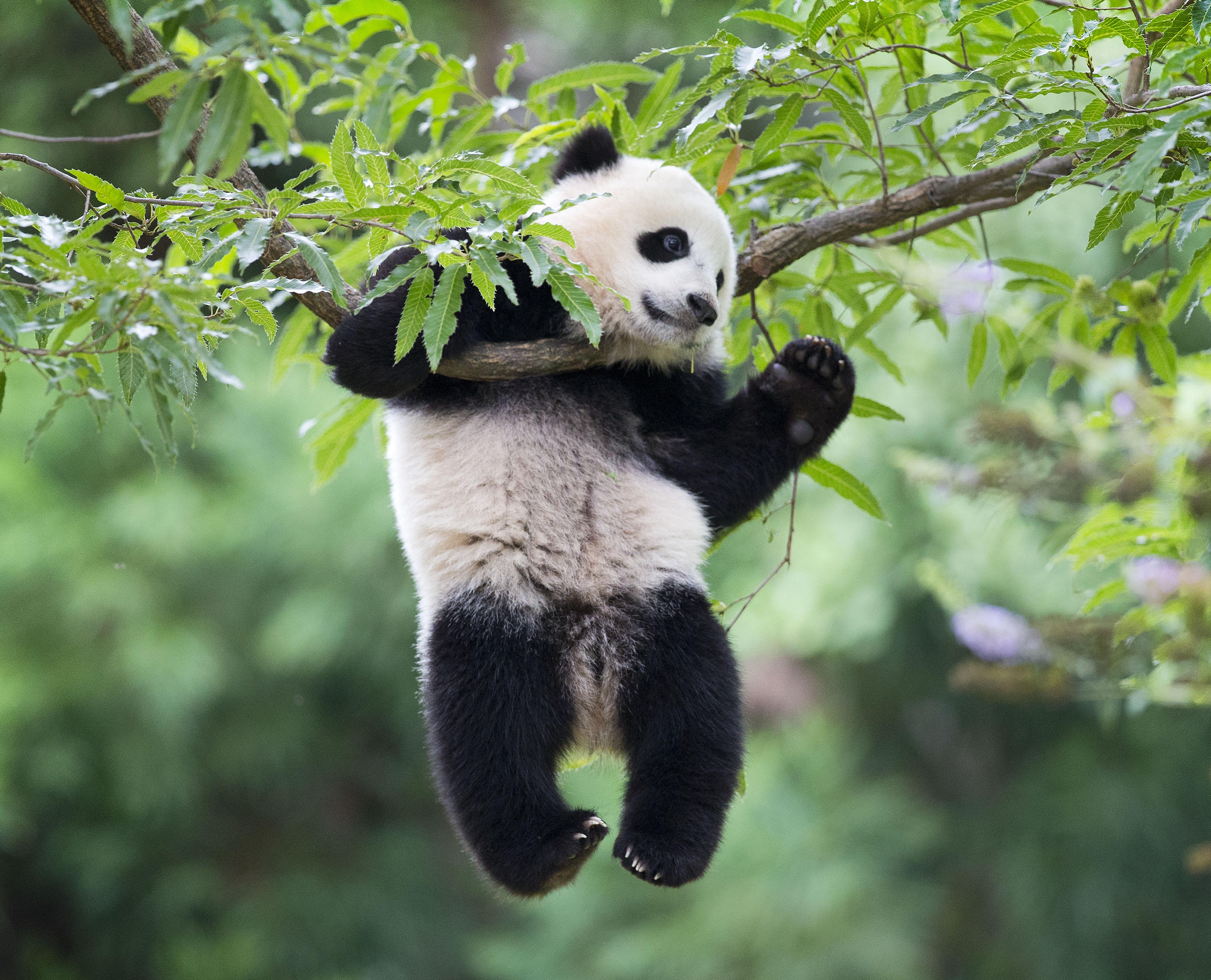 Adorable Bao Bao tumbles around yard at National Zoo (Video)
