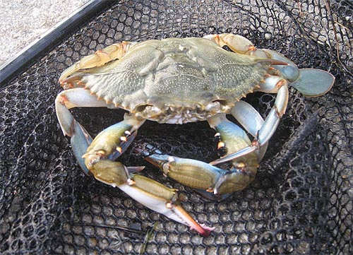 Nearly 40 percent of restaurants serve fake blue crab cakes