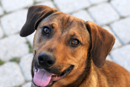Meet Ollie, a 1-year-old hound mix from Alabama. This happy, exuberant boy loves life and wants to get the most out of every moment. (Courtesy Washington Animal Rescue League)