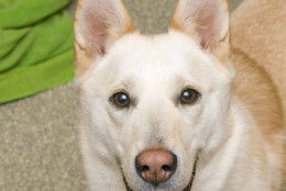 Rosie, 3-year-old husky mix, is this week's Pet of the Week. (Courtesy WARL)