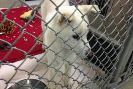 One of the dogs that was rescued from a  dog-meat farm in South Korea and brought to Alexandria. (WTOP/Michelle Basch)