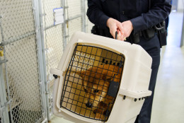 Twenty-three dogs were rescued from a dog meat farm in South Korea and flown to the D.C. area for adoption. (Photo Courtesy Shelley Castle)