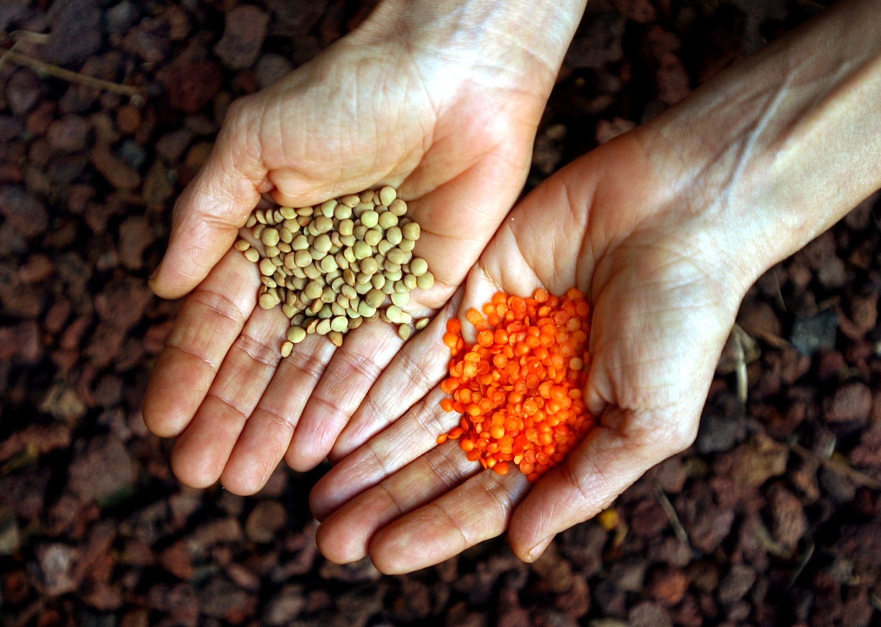 Lentils contain some of the most gut-nourishing varieties of fiber out there, and they're one of the best sources of plant-based iron to boot.  (AP Photo/Ariel Schalit)