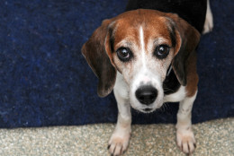 Dolah is a darling little beagle available for adoption at WARL. (Courtesy WARL)