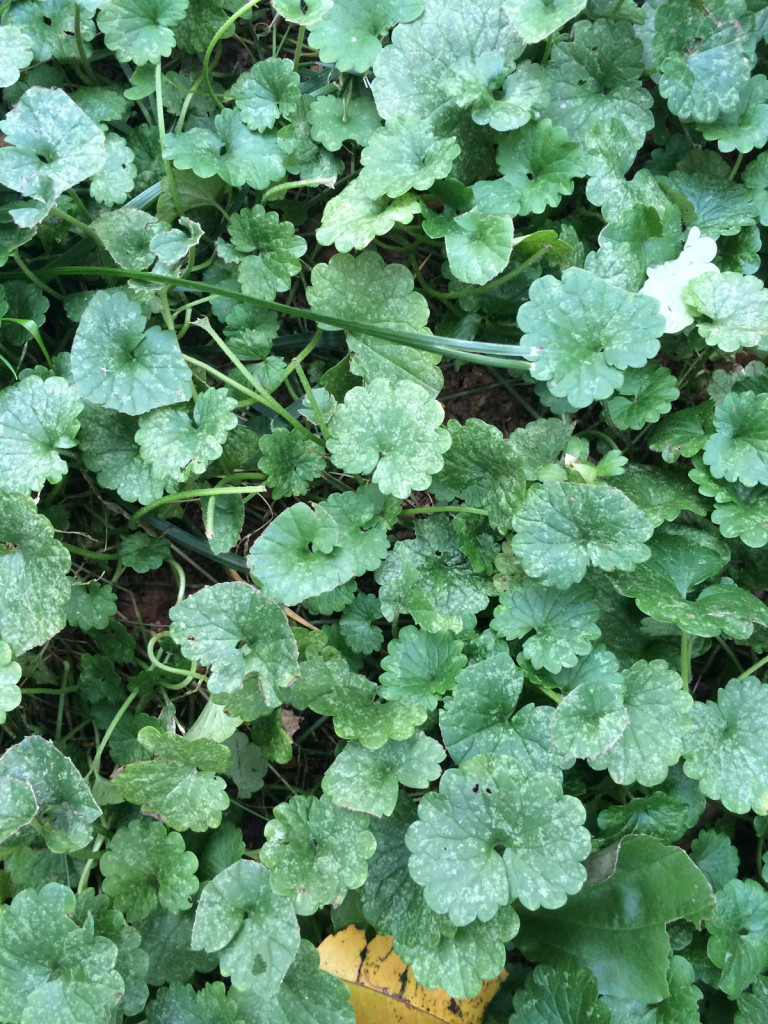 Ground Covers Like This Ivy Are A Good Alternative To Grass In Shady Spots  But