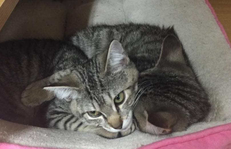 Two tabby kittens were stolen from the Columbia Heights Petco late Monday morning. (Last Chance Animal Rescue)