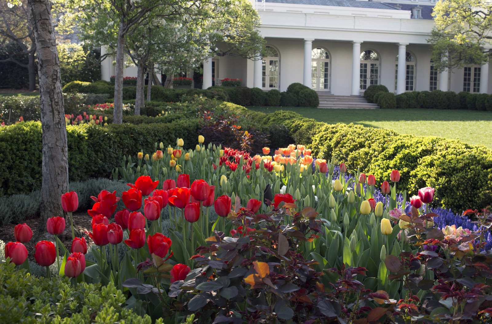 Cowboy gardening for tulip lovers wtop for Garden in the house