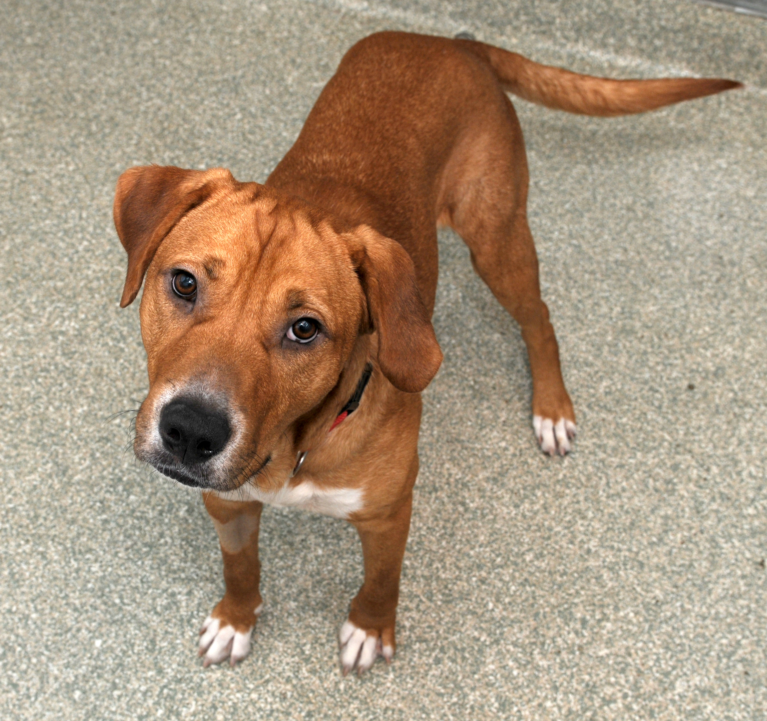 Meet Amelio:  This Lab mix is as friendly as they come