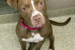This 2-year-old Staffordshire terrier mix is enthusiastic and energetic, and he's looking for a new home. (Courtesy WARL)