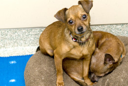 Miguel is looking for a loving home and is available for adoption at the Washington Animal Rescue League. (Courtesy WARL)