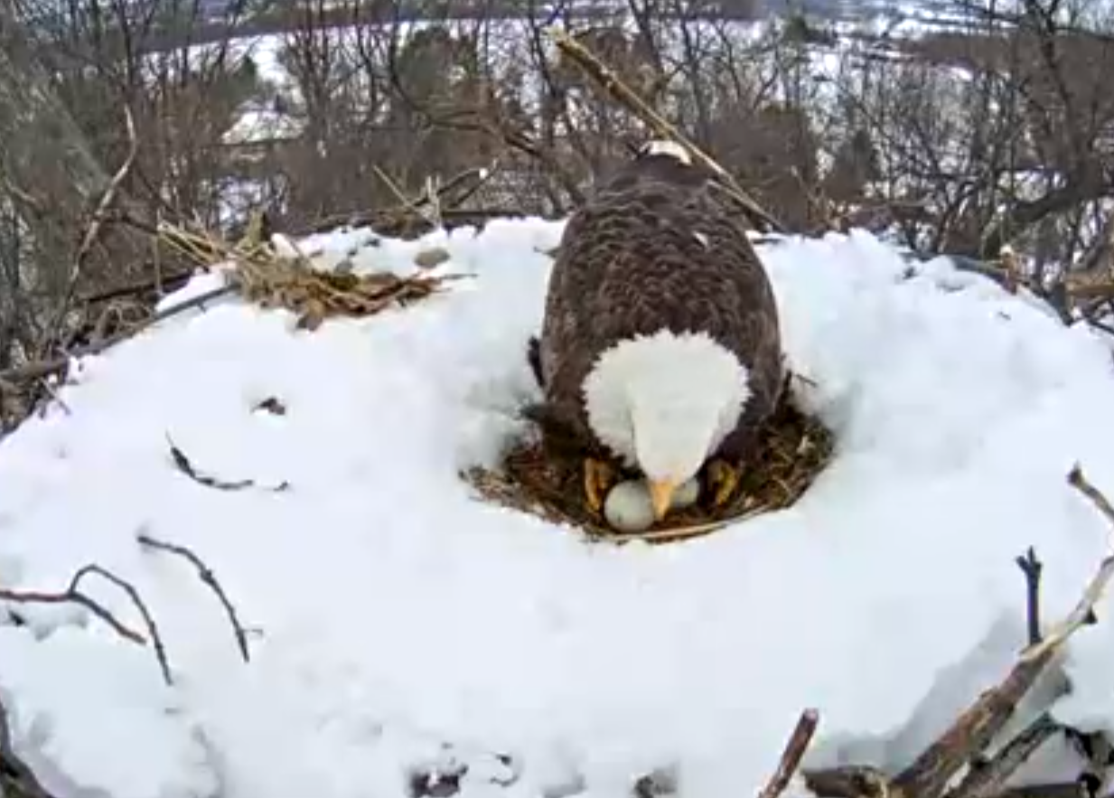 On Saturday, March 6, the sitting eagle shares a glimpse of her two eggs as she stands up for a brief moment to rotate them. (Screenshot/Pennsylvania Game Commission)