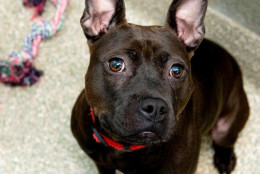 Sweet & Low, a pit bull mix, is this week's WARL Pet of the Week. (Courtesy WARL)