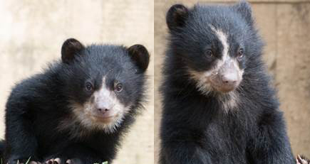 19-week-old Andean bear cubs to make debut at National Zoo