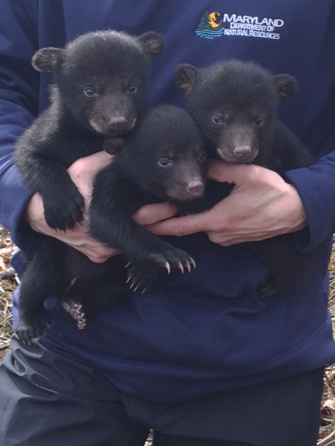 Black bear population pushing farther into Montgomery County