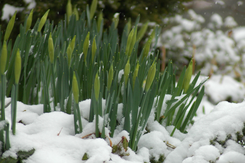 A coating of snow in late March 2013 wasn't enough to thwart the coming of spring.  (WTOP/Dave Dildine)