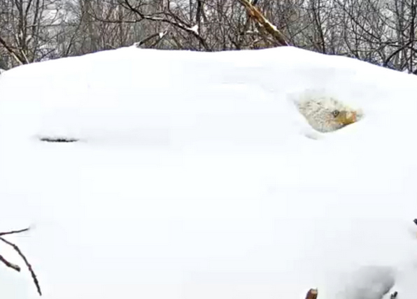 Dedicated eagle wasn't in danger despite snow (Photos)