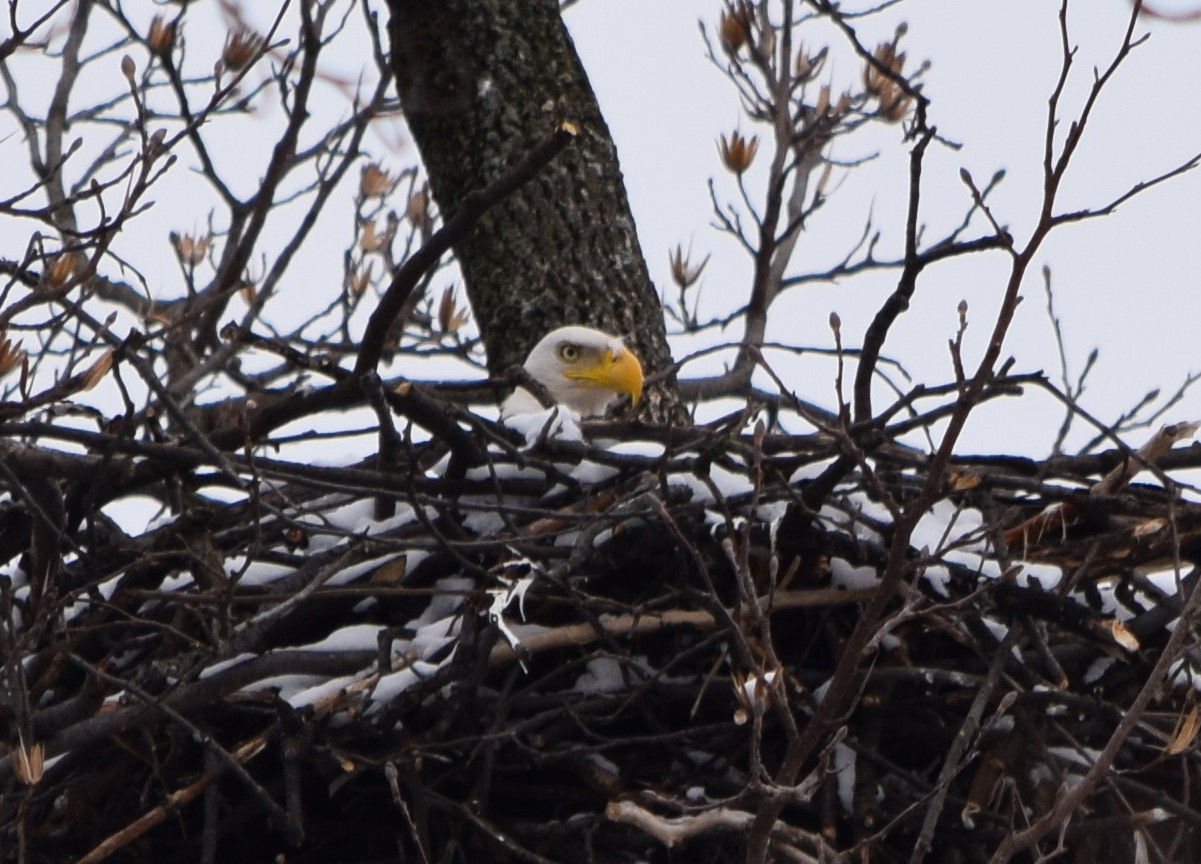 National Arboretum bald eagles may have hatched (Photos)