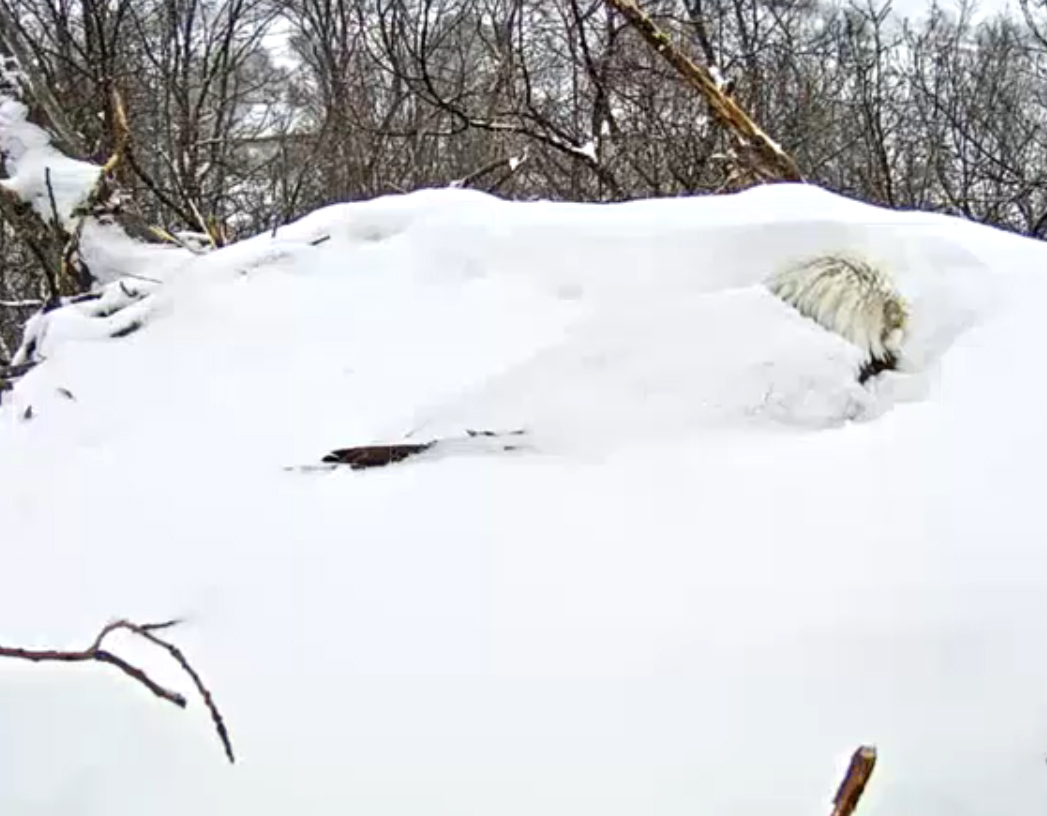 Snow has begun to cover the second eagle, but it remains steadfast.  (Image courtesy Pennsylvania Game Commission)