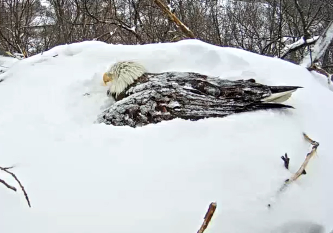 Around 5:20 p.m. on March 5, the eagle on duty was facing a new direction. Everyone needs a little change of scenery. (Image courtesy of Pennsylvania Game Commission)